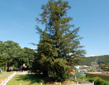 사천 성내리 비자나무