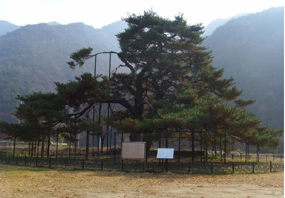 서원리 정경부인 소나무