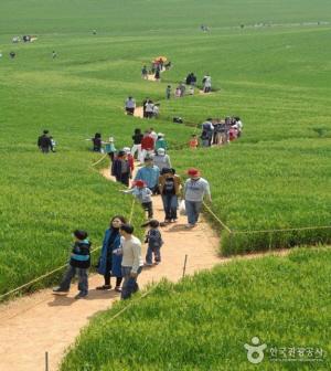 고창 청보리밭축제