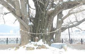칠석동 은행나무