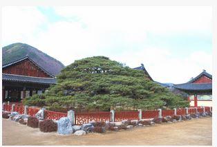 청도 운문사 처진소나무 (천연기념물  제180호)