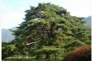 2 충북 보은 서원리 소나무