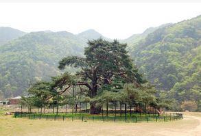 보은 서원리 소나무 (천연기념물  제352호)