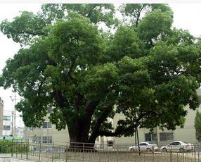 인천 신현동 회화나무 (천연기념물  제315호)