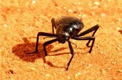 나미브 사막의 딱정벌레
