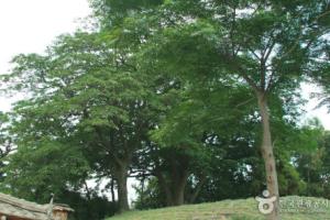 함평 양재리의 이팝나무