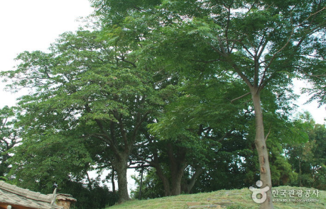 함평 양재리 이팝나무