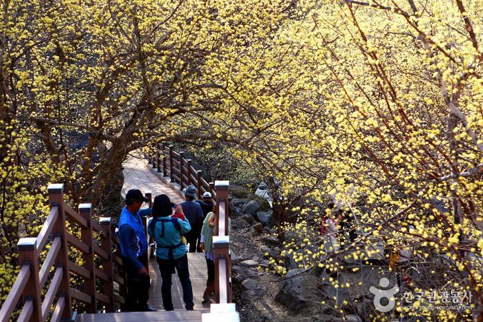 구례산수유꽃축제