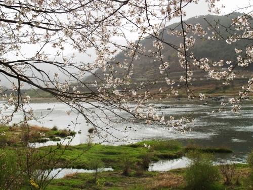 섬진강변 벚꽃축제